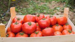Selain Mudah Didapatkan, Tomat juga Memiliki Segudang Khasiat yang Sangat Baik Bagi Tubuh Kamu