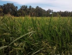Petani Persawahan Blang seumasang Gampong Ladang Tinggal Menunggu Panen Raya